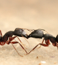 There are more than 14,000 ant species for science classes to investigate. (Photo by Rakeshkdogra/Wikimedia Commons)
